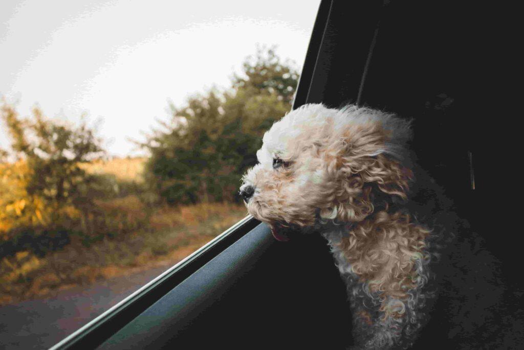 biltur hundehvalp tur hjem