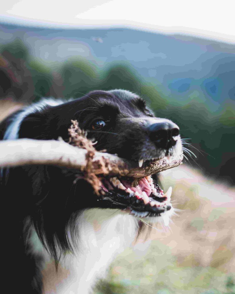 hvalpetænder og voksne hunde