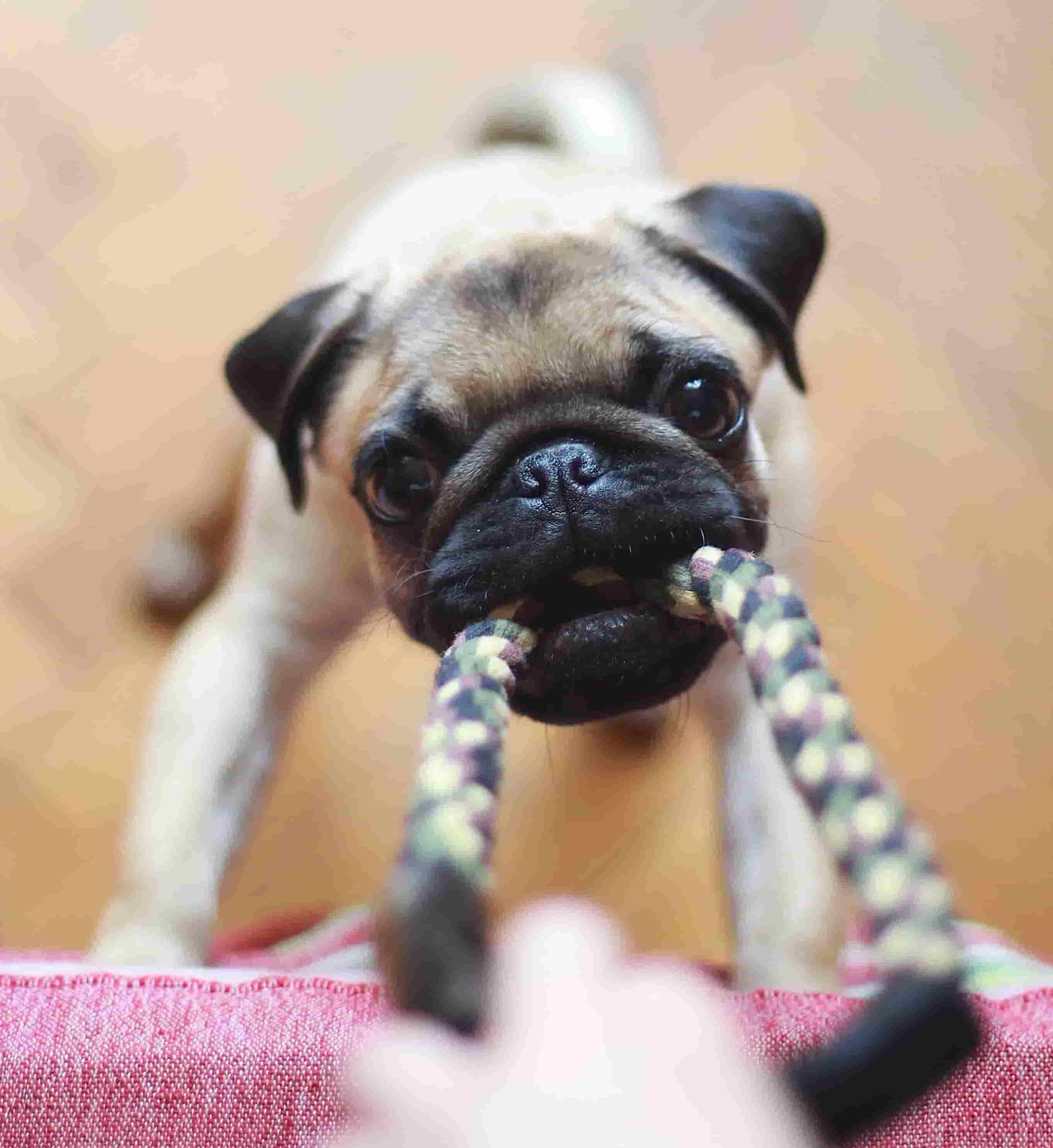 om hundehvalpe indkøb og legetøj til hundehvalpe